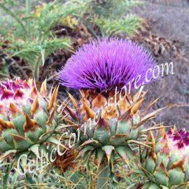 1 - Flower of Scotland wm